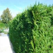 lebensbaum-brabant