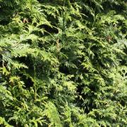 lebensbaum-excelsa
