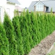 lebensbaum-smaragd